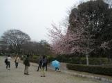 桜が咲き始めています